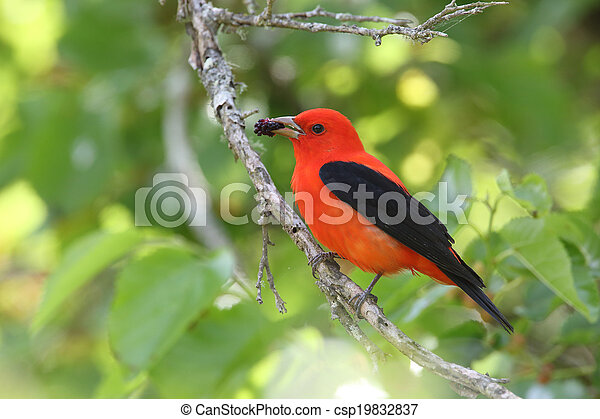 Scarlet Tanager Eating a Mulberry - csp19832837