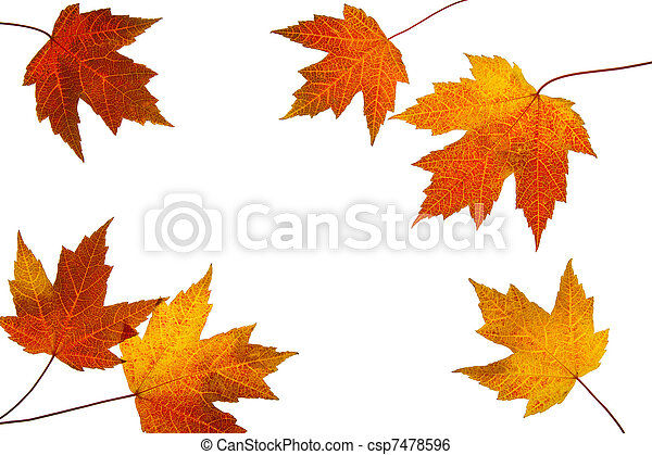 Scattered Fall Maple Leaves on White Background - csp7478596
