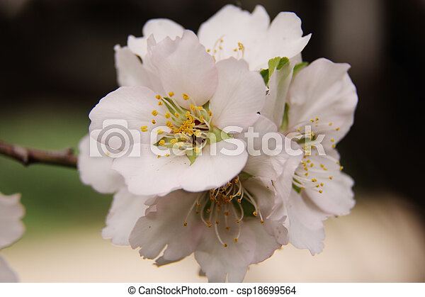 Schöne , blüte, fruehjahr, baum, mandeln, weisse blumen Stockbild ...