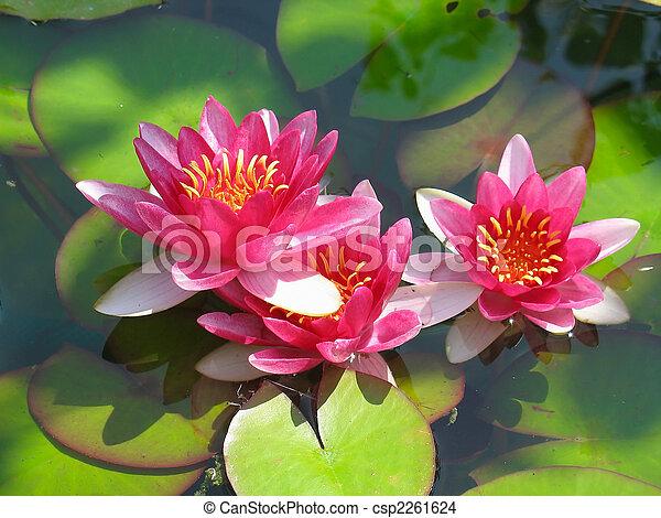 Wunderschöne, blühende rote Wasserblume mit grünen Blättern im Teich - csp2261624