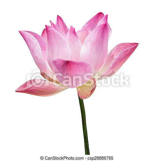 Schöne , blume, lotos, freigestellt, background),... Stockbild ...