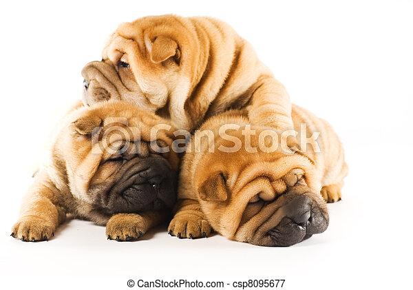 schöne , gruppe, drei, freigestellt, hintergrund, hundebabys, weißes, sharpei - csp8095677