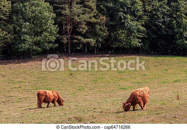 schöne , hochland, schottische , vieh - csp64716266