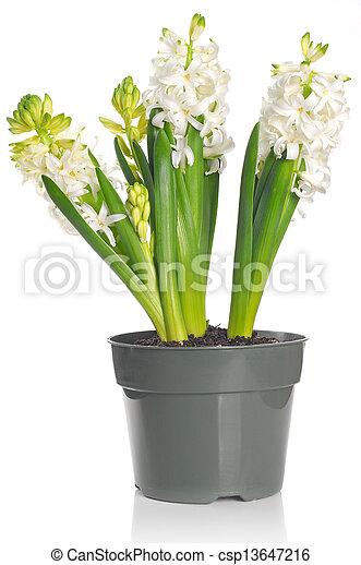Schöne , hyazinthe, topf, blume, weißes. Schöne , hyazinthe ...