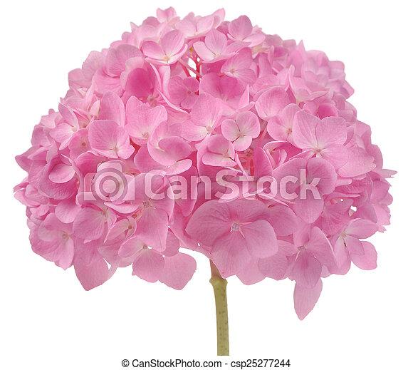 Schöne , rosa, hortensie, freigestellt, hintergrund, weisse blumen ...