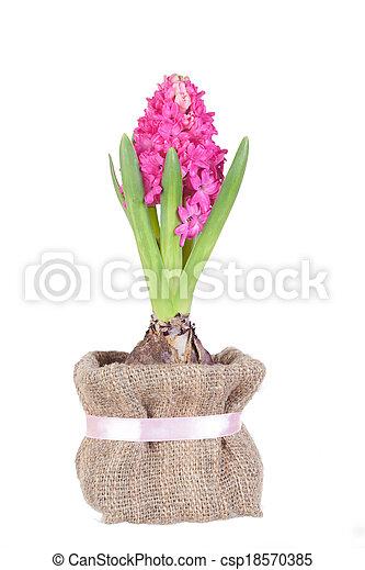 Schöne , rosa, hyazinthen, freigestellt, hintergrund, weisse ...