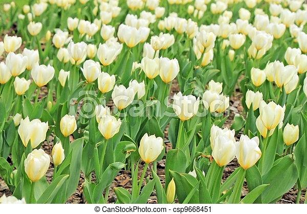 schöne , tulpen, weißes, fruehjahr, feld - csp9668451