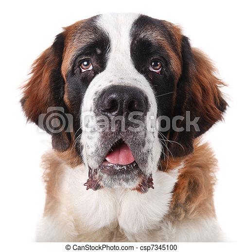 schattig, puppy, bernard, heilige, purebred - csp7345100