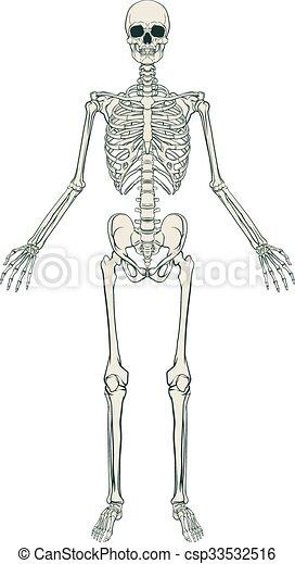 scheletro, umano - csp33532516
