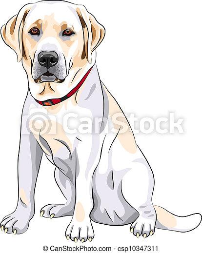 schizzo, labrador, seduta, razza, cane, giallo, vettore, cane da riporto - csp10347311