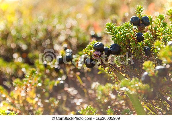 schließen, empetrum., beeren, crowberry, auf - csp30005909