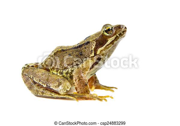 schnitt, gewöhnlicher frosch, heraus - csp24883299