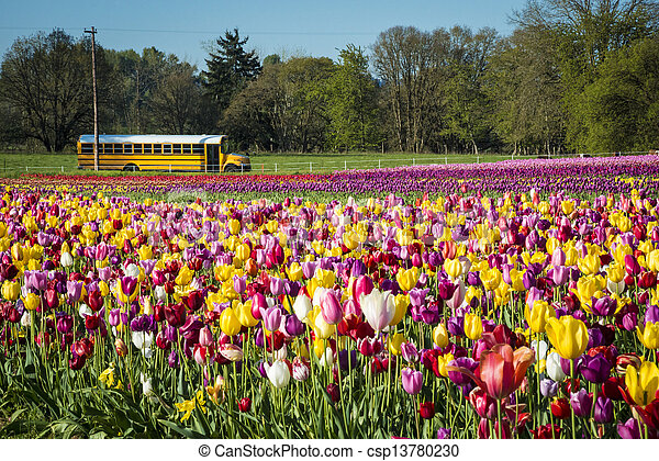 School bus passing a field of tulips - csp13780230