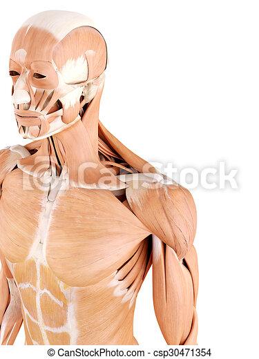 Schulter muskeln Illustrationen und Clip-Art. 1.867 Schulter muskeln ...