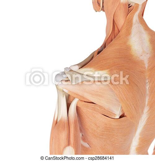 Schulter, muskeln. Schulter, medizin, muskeln, genau, abbildung.