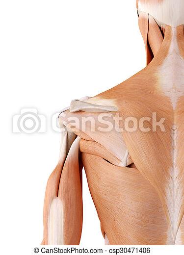 Schulter, muskeln, genau, -, abbildung, koerperbau, medically.