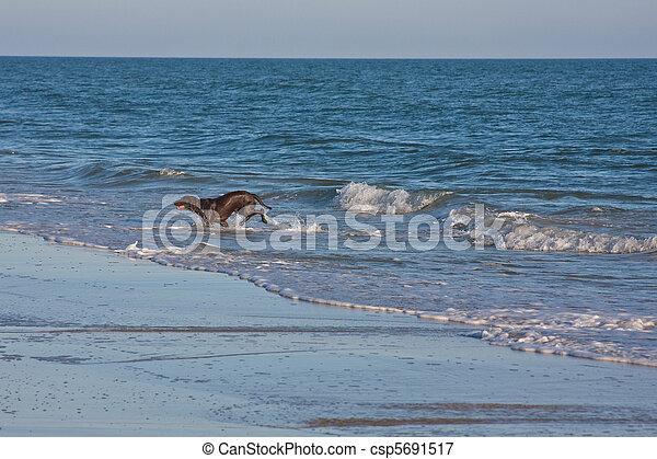 schwärzen labrador, apportierhund, hund - csp5691517