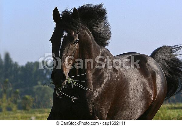 schwarz, hengst - csp1632111