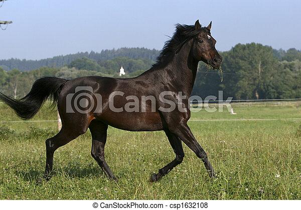 schwarz, hengst - csp1632108