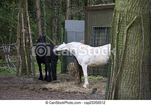 schwarz, weißes, stute, hengst - csp23356512
