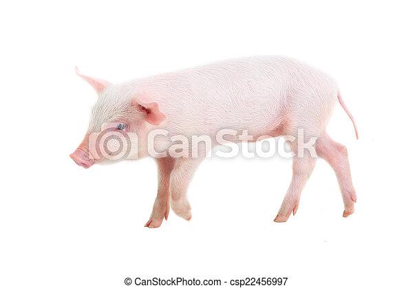 schwein - csp22456997