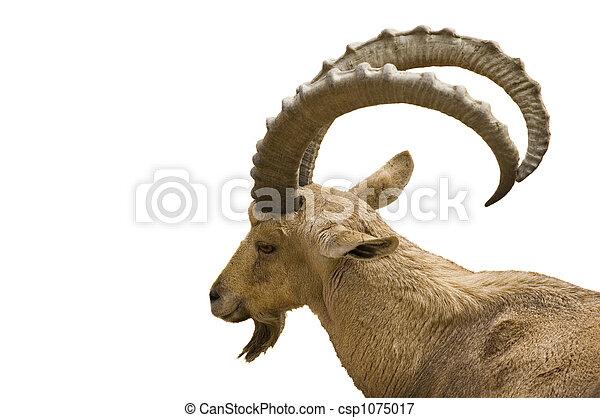 Scimitar horned IBex on white background - csp1075017