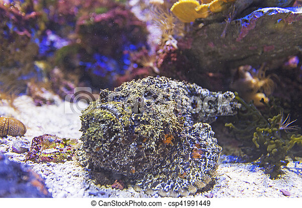 Escorpión pez en el arrecife de coral - csp41991449
