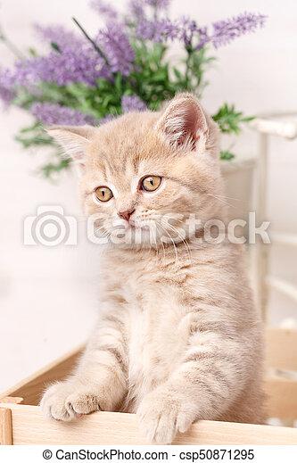 Scottish fold cat. Baby animal portrait - csp50871295