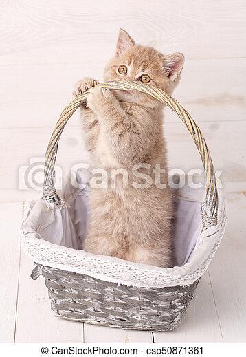 Scottish Fold Kitten in a basket - csp50871361
