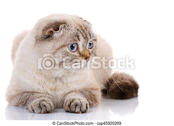 Scottish Fold kitten lying isolated - csp45920269