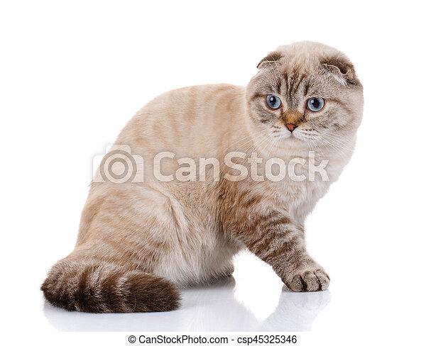 Scottish Fold kitten lying isolated - csp45325346