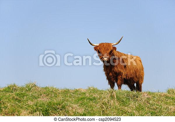 Scottish Highlander - csp2094523
