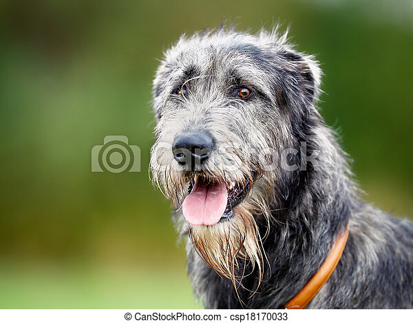 Scottish wolfhound - csp18170033