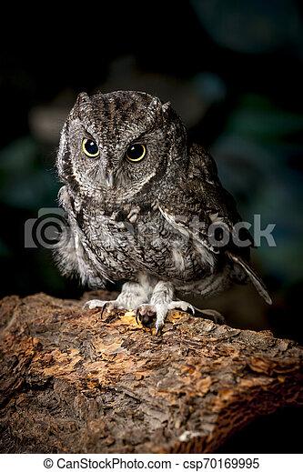 Screech owl in captivity. - csp70169995