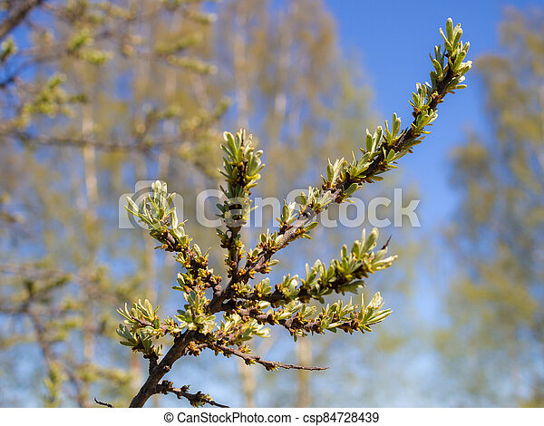 sea buckthorn branch with green leaves - csp84728439