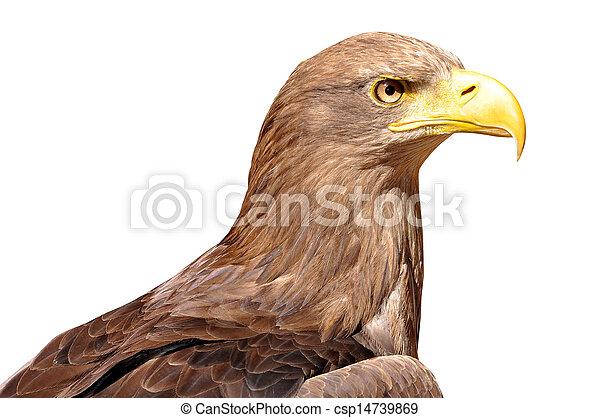 sea eagle isolated on white - csp14739869