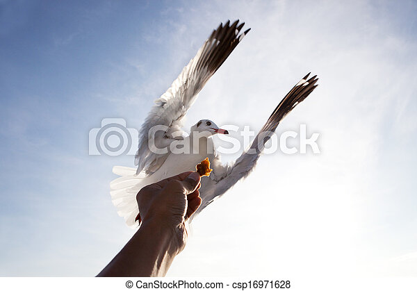 sea gull bird flying above hand feeding with blue sky white cloud background use for natural scene multipurpose - csp16971628