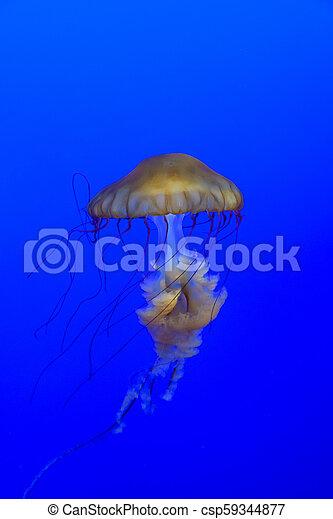 Sea Nettle Jellyfish - csp59344877