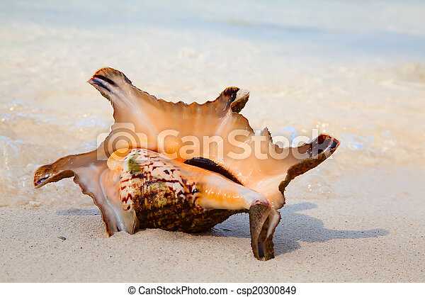 Sea shell - csp20300849