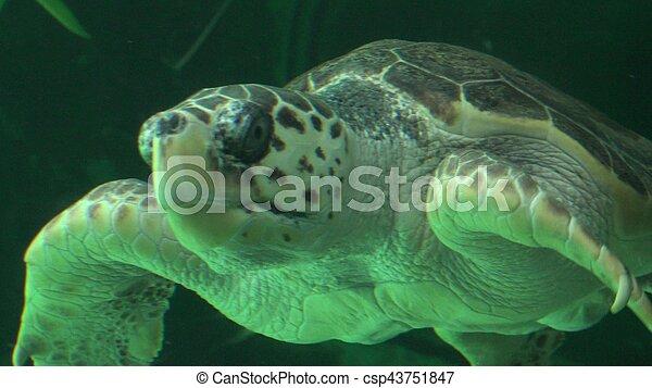 Sea Turtle Swimming In Aquarium - csp43751847