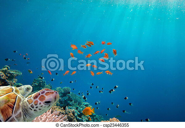 sea turtle swimming over coral reef - csp23446355