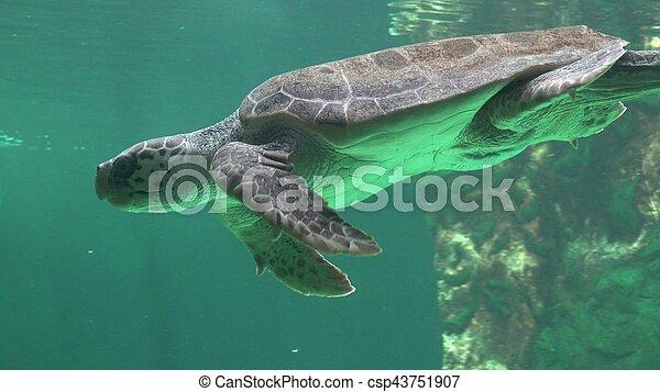 Sea Turtle Swimming Underwater - csp43751907
