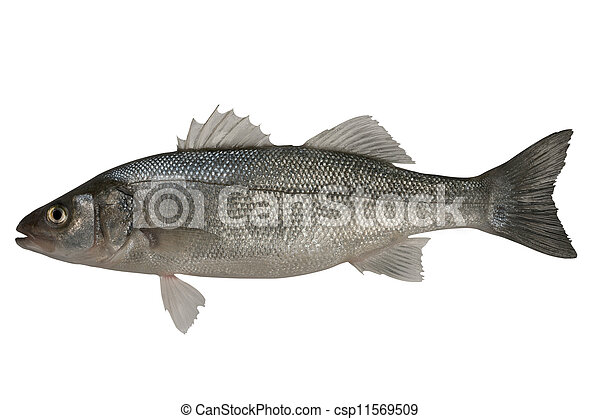 Seabass, Dicentrarchus labrax. - csp11569509