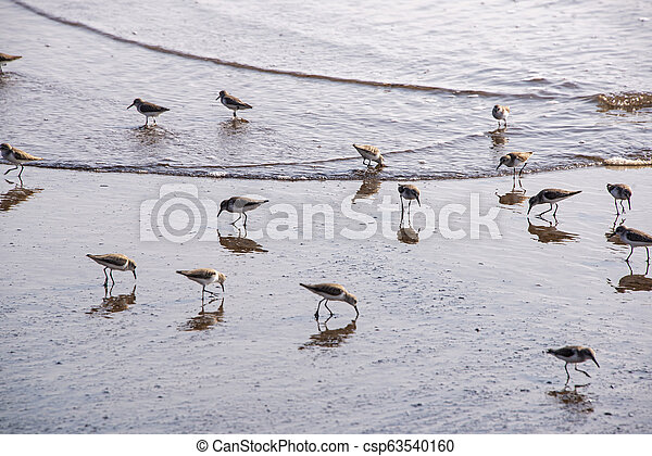 Seabirds wading on a seashore - csp63540160