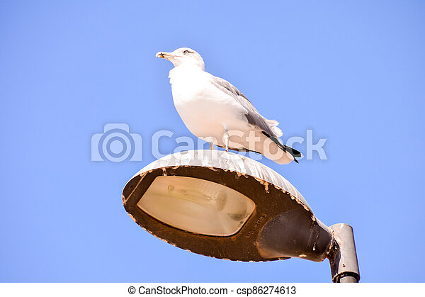 Seagull on a lamp post - csp86274613