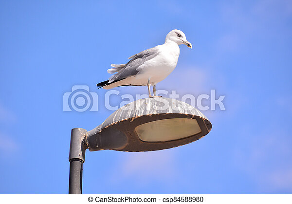 Seagull on a lamp post - csp84588980