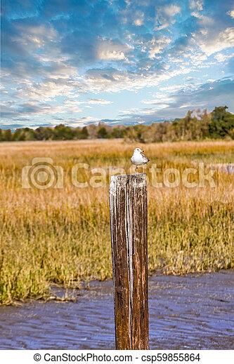 Seagull on Post in Marsh - csp59855864