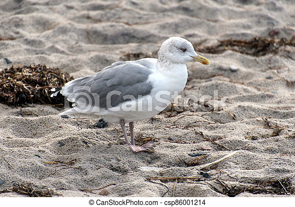 Seagull on the baltic sea coast in Germany - csp86001214