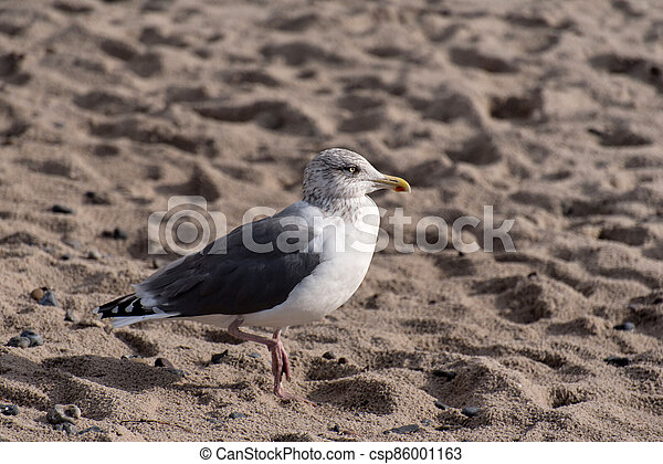 Seagull on the baltic sea coast in Germany - csp86001163