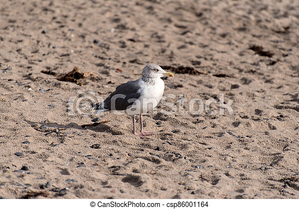Seagull on the baltic sea coast in Germany - csp86001164
